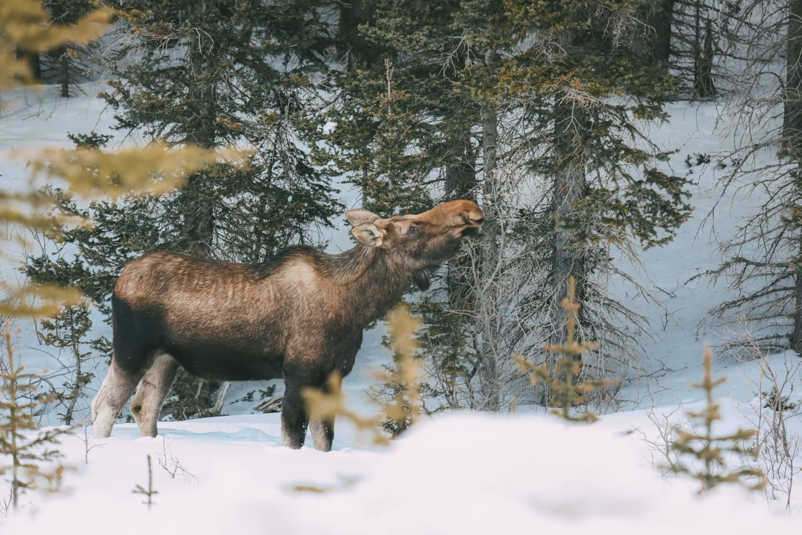 Finding Wild Moose And Skiing In Sunshine Village... In Banff, Canada (4)